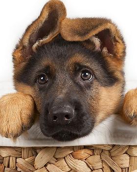 shiba_inu_white_bokeh_dog_puppy_looks-HD