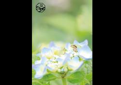立山の四季 紫陽花と蛙.jpg