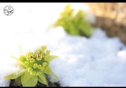 立山の四季 蕗の薹.jpg