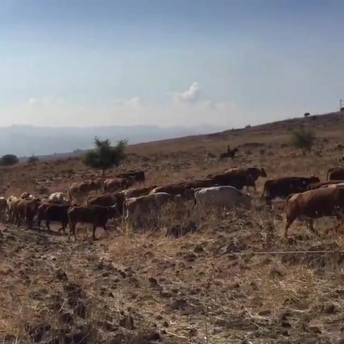 Herding Cattle in the Beautiful Golan