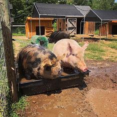 pigs2.jpg