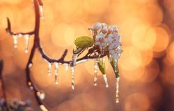 Frost auf Obstblüten