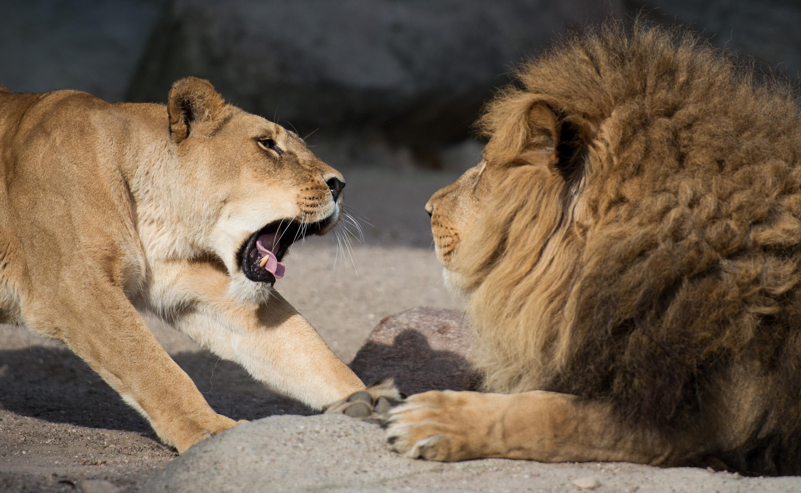 Müde Löwen