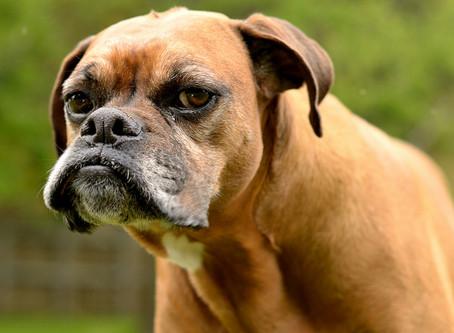 Gedrag oudere Hond