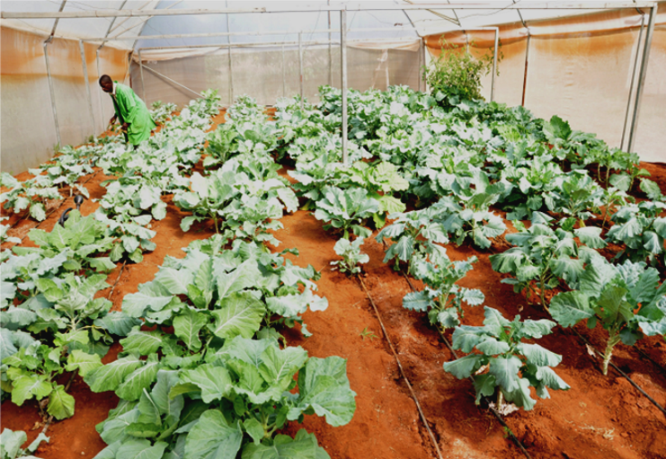 vegetable crops in a covered farm