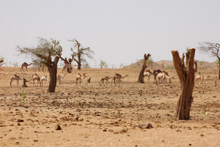 Camels walking on a desert among dried up trees
