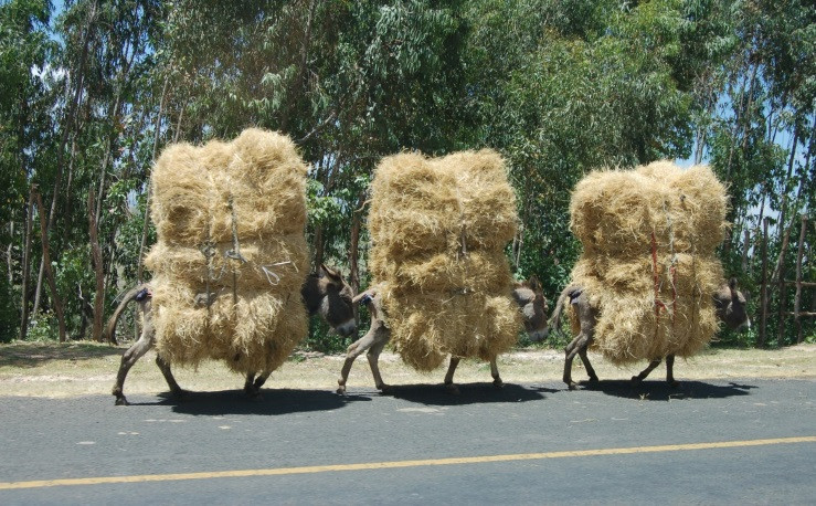 Donkeys carrying large stacks of hay
