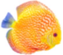 Pompadour, Discus fish on white backgrou