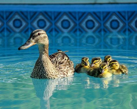 ducks_in_pool_x1.jpg