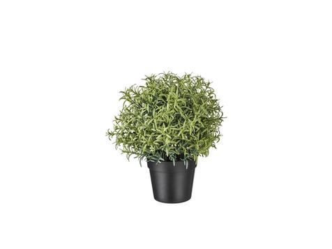 Dribtinis augalas - rozmarinas €2,00