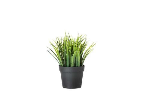 Dribtinis augalas - lauko žolė €2,00