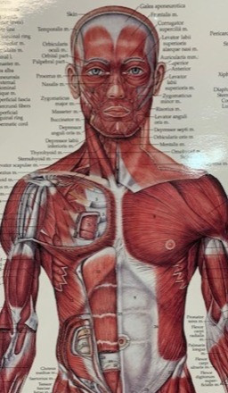 musculature of human body