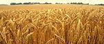 2014-09-09-barley-690x299.jpg
