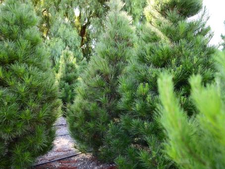 Why Buy a Real Christmas Tree?
