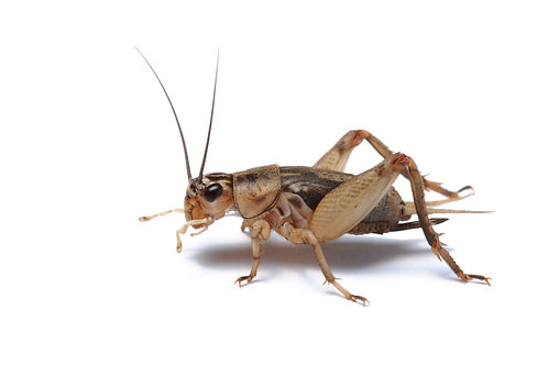 House Brown Crickets