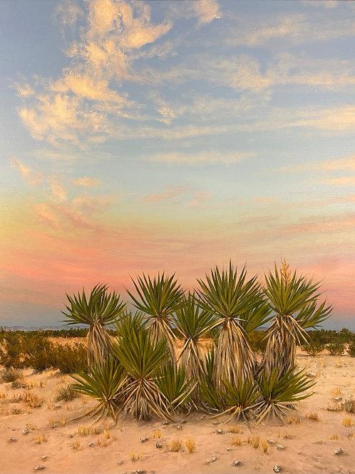 Mojave Yucca's