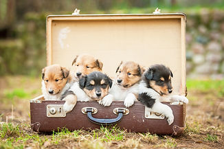 Five rough collie  puppies sitting in the suitcase.jpg