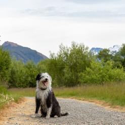 Jack - Bearded Collie x - Remarkable Dog