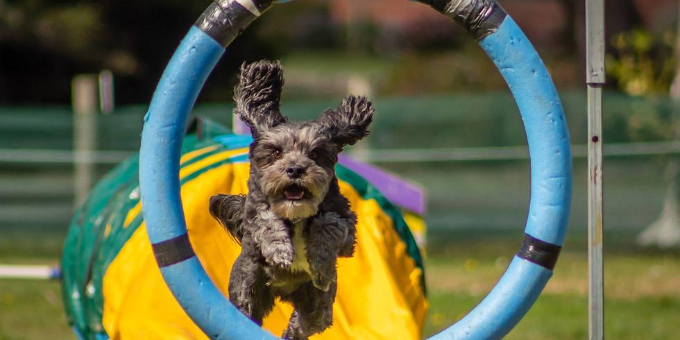 Dog Agility & Tricks - Beginners