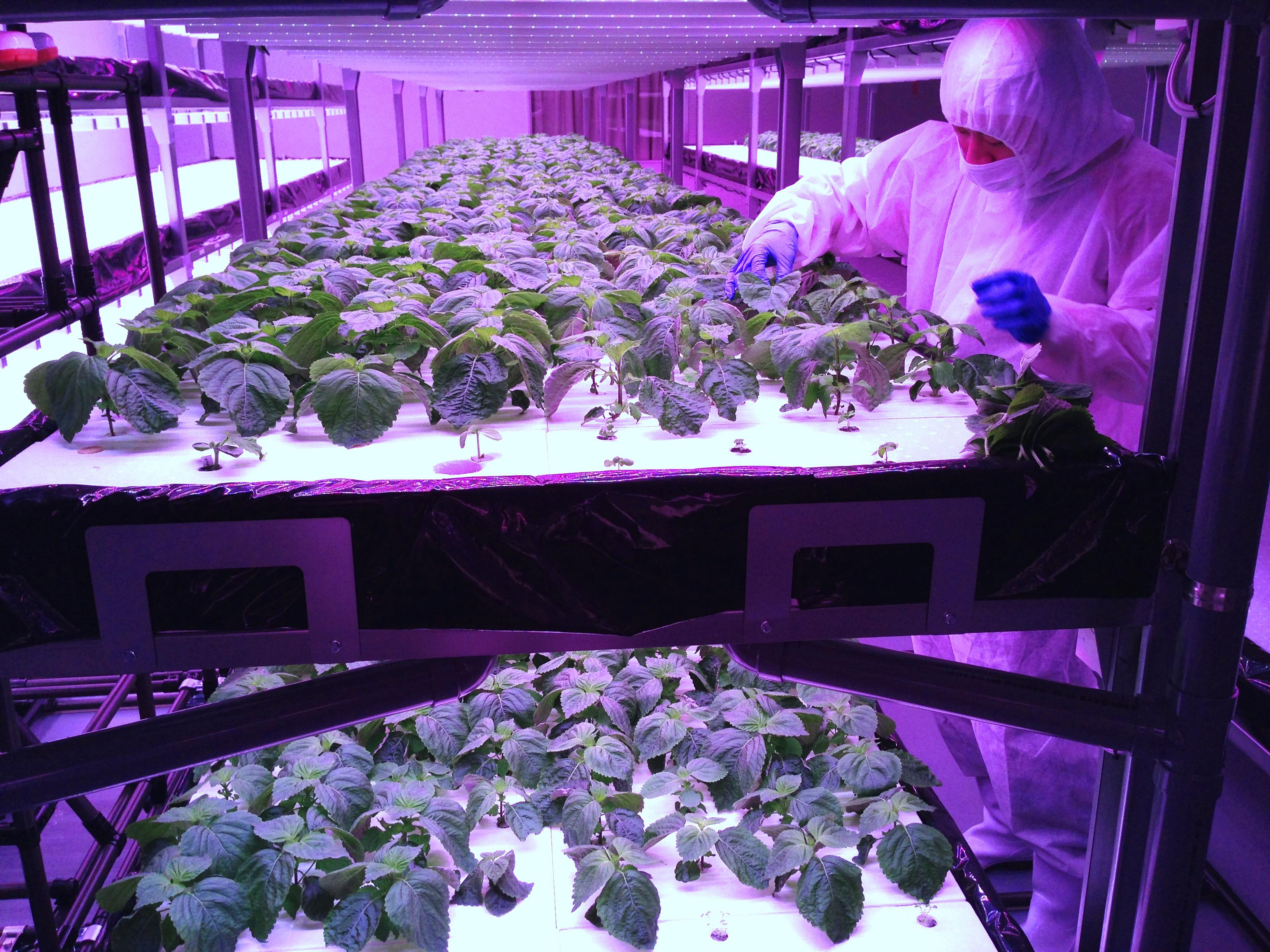 植物工場:えごま栽培