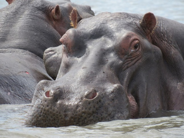 Hippo - National Park of Malawi