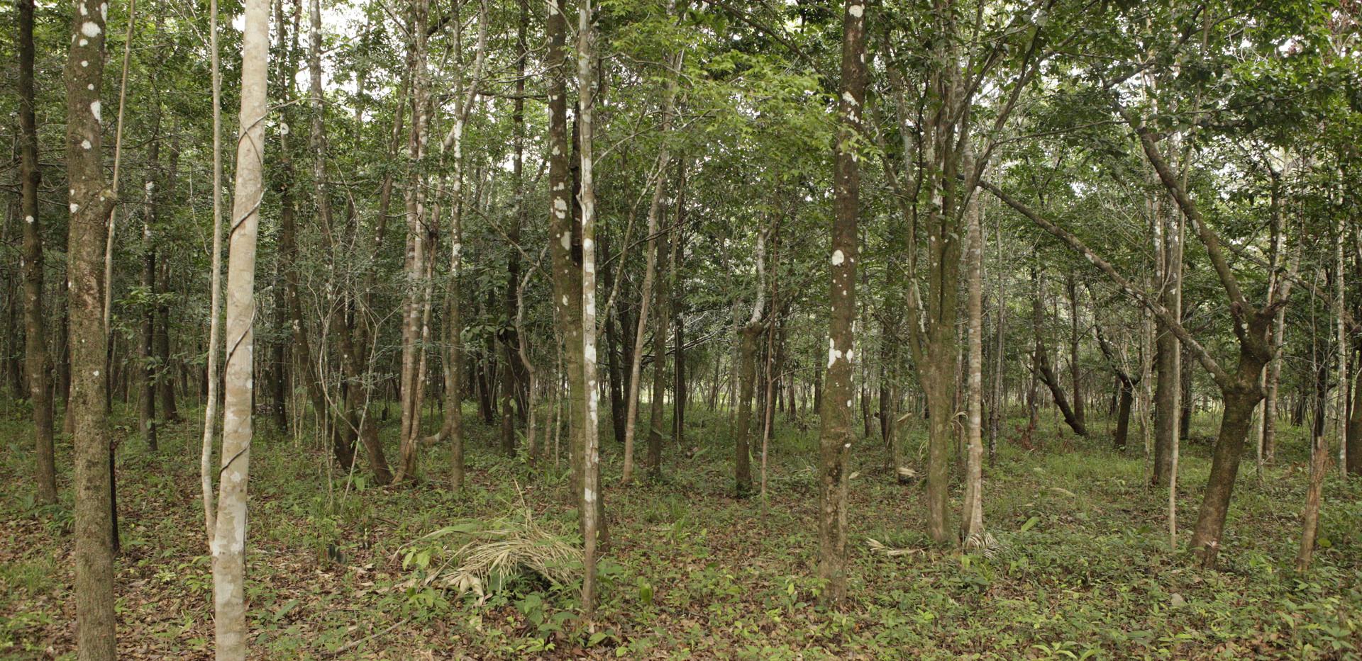 Floresta da fazenda Bacuri