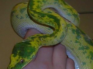 My Snake, Lilith.jpg