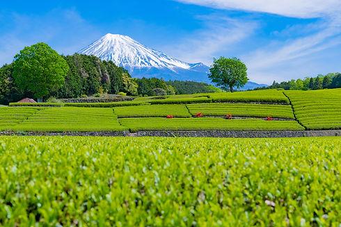 Tea-plantation-in-Oobuchi-sasaba,-Fuji-C