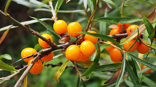 Sea-buckthorn-berries-on-a-branch.-11407