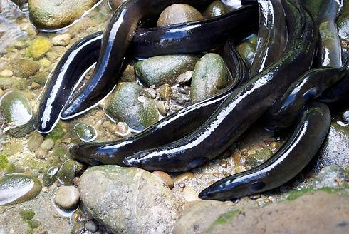 New-Zealand-Longfin-Eel-(Anguilla-dieffe