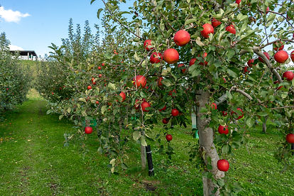 Sweet-fruit-apples-growing-on-trees-in-H