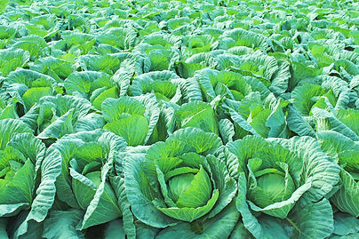 Cabbage-field-539028456_3869x2579.jpeg