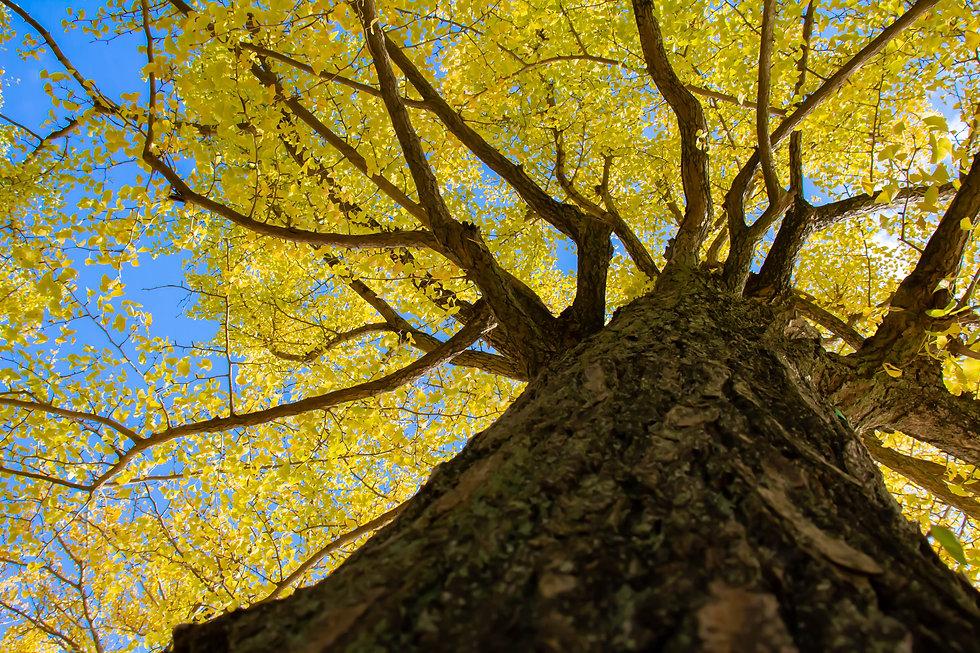 A-ginkgo-big-tree-whose-leaves-turned-ye