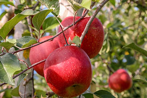 Sweet-fruit-apple-growing-on-trees-10939