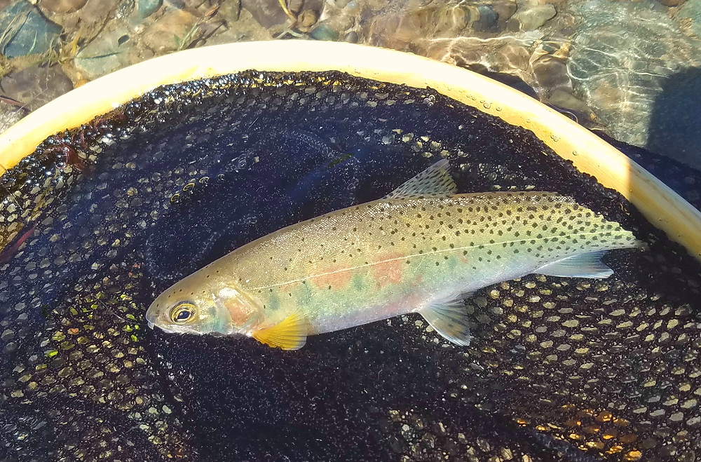 Methow river trout
