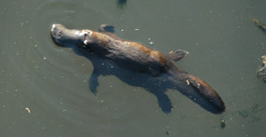 Did you know: The Platypus is a Unique Australian Species 🎥🎥