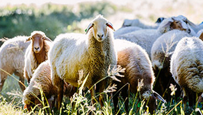 Good News for a Change: Sustainably Farming Sheep@Awassi Queensland