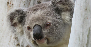 Save Our Precious Koalas - Leading By Example 🎥