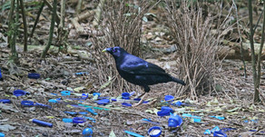 Did you know? Thieving Bowerbirds go Courting 📽