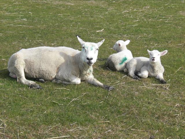 Schafe an Nordsee