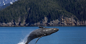 Good News for a Change: Humpback Whales' Rebound 🎥
