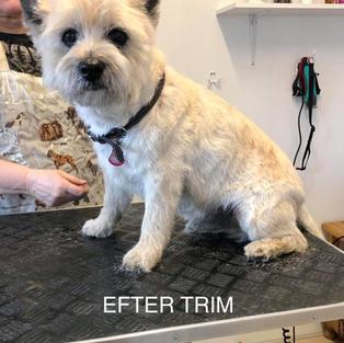 Cairn terrier. Efter trim