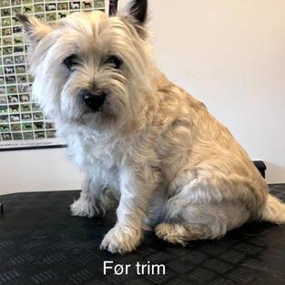 Cairn Terrier. Før trim