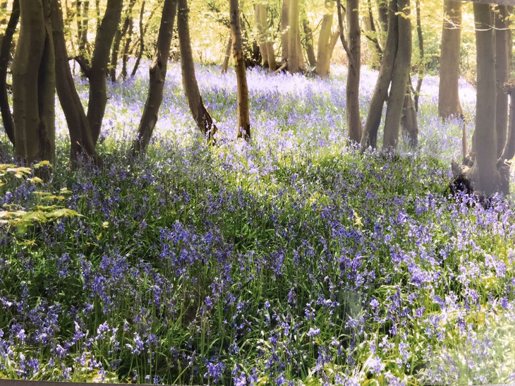 beautiful bluebells this time of year.jp