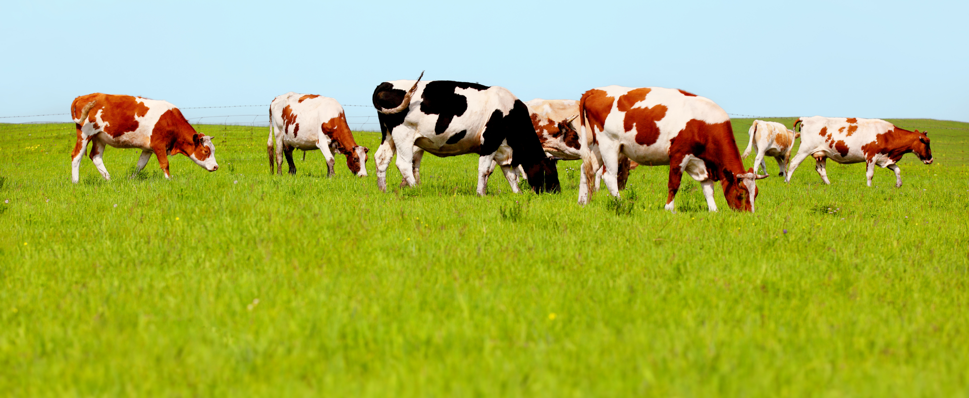 Cows grazing on pasture_edited.jpg
