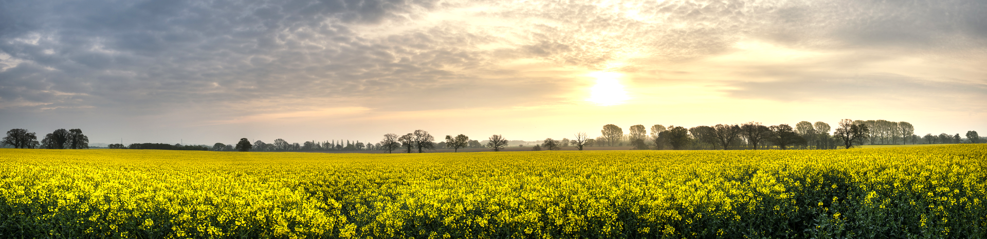 Panorama Landscape Rapeseed Canola Field In Diffuse Hazy Morning Sun_edited_edit