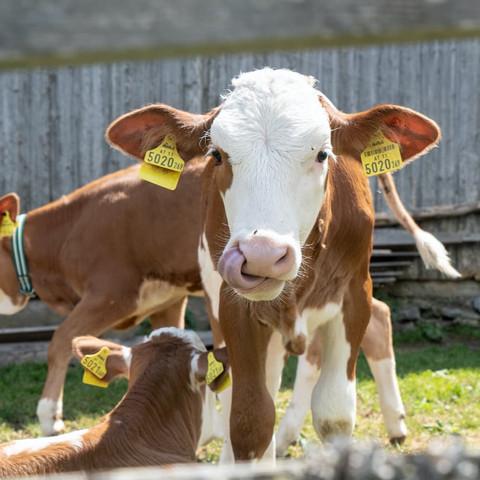 Integratori per il bovino