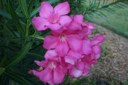 Foliage Pink 2