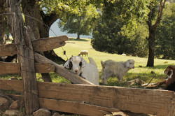 Baby Goats and Sheep
