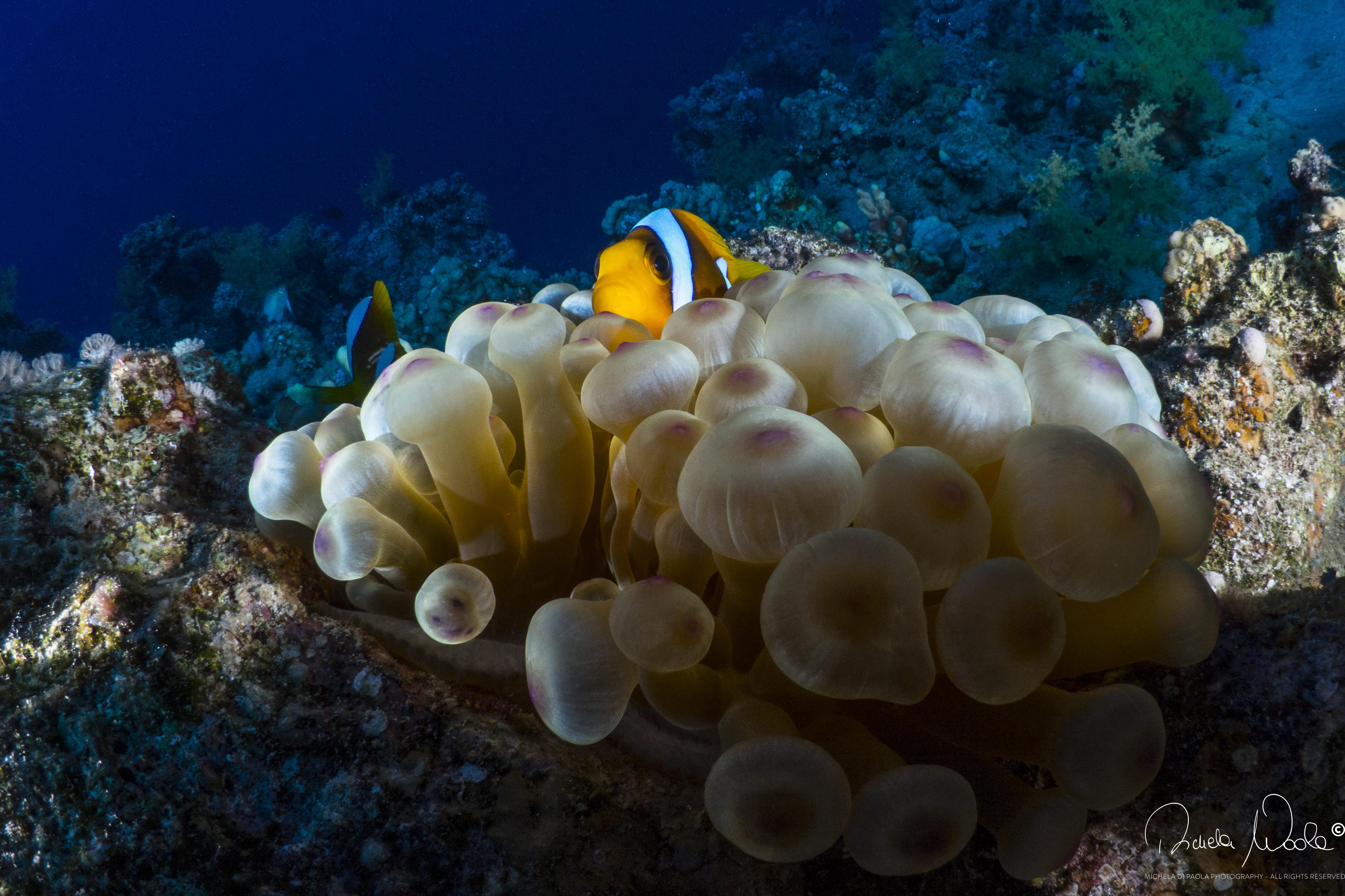 anemone e nemo ok